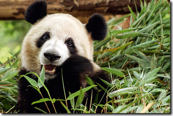 Bakterien Verdauen Bambus Fur Den Grossen Panda