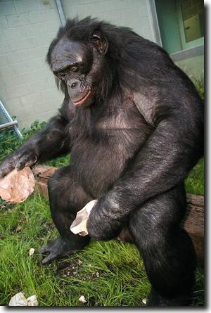 mensch schimpanse vergleich